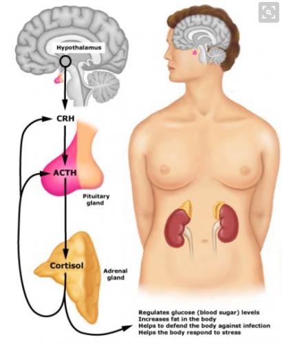 Cortisol - warum ein zu hoher Cortisolspiegel fett macht und das Abnehmen blockiert